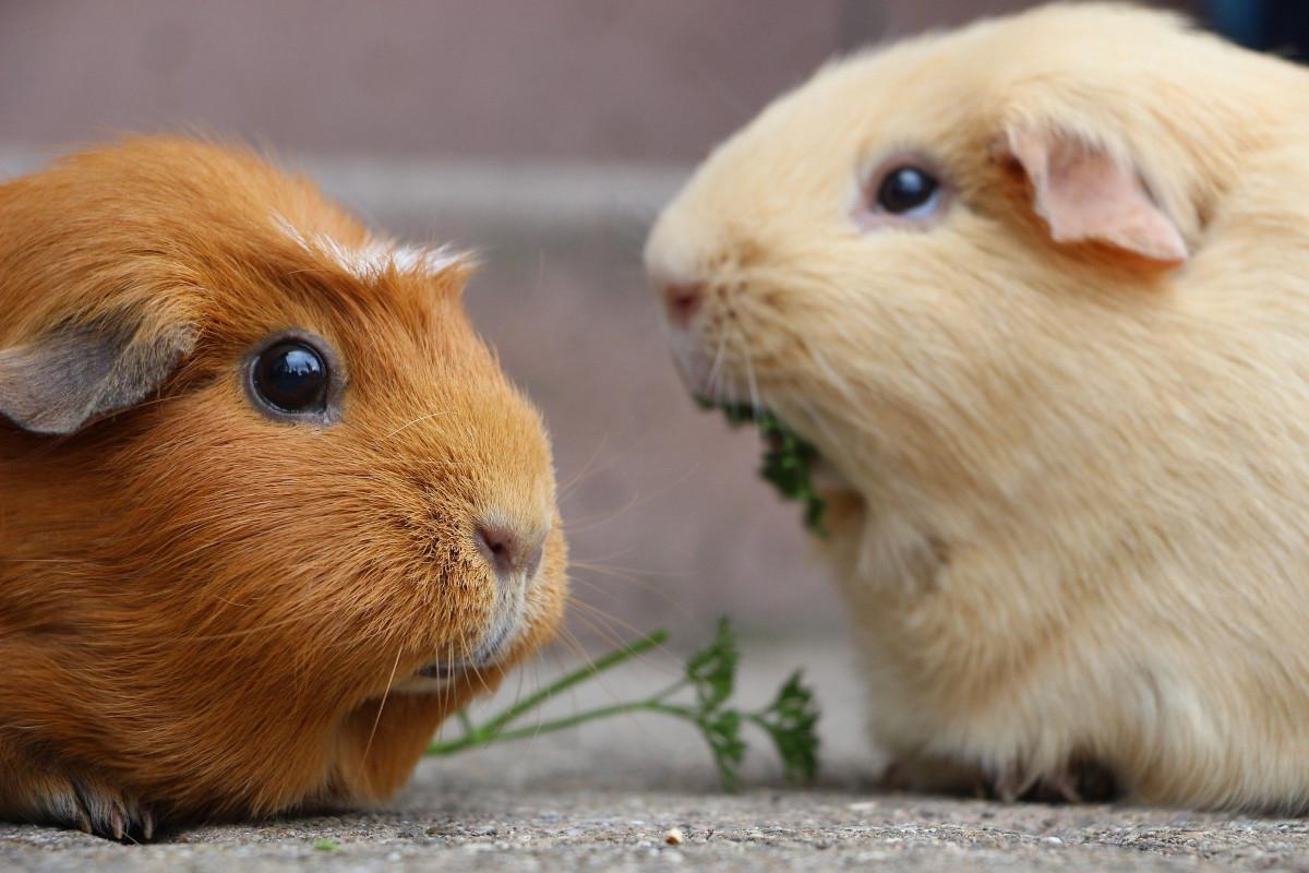 pierdere în greutate guineea porc)