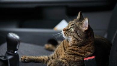 calatoria cu pisica in masina