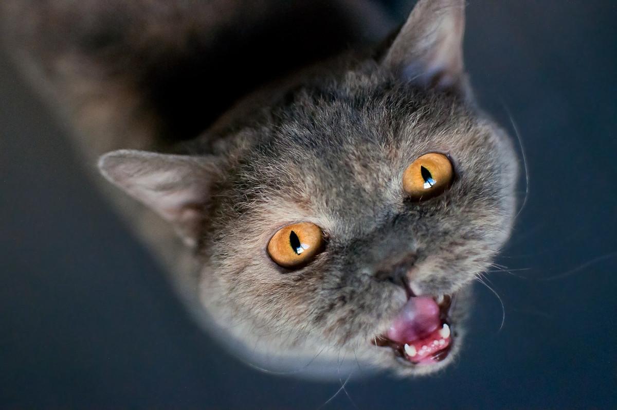 de ce miauna pisicile