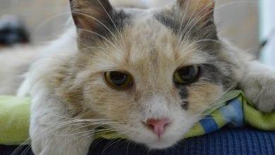 hipertiroidia la pisici