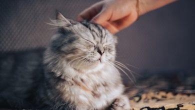 ingrijirea pisicii