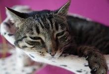 ingrijiti o pisica bolnava