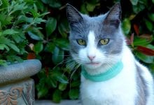 schimbari comportament pisici adulte