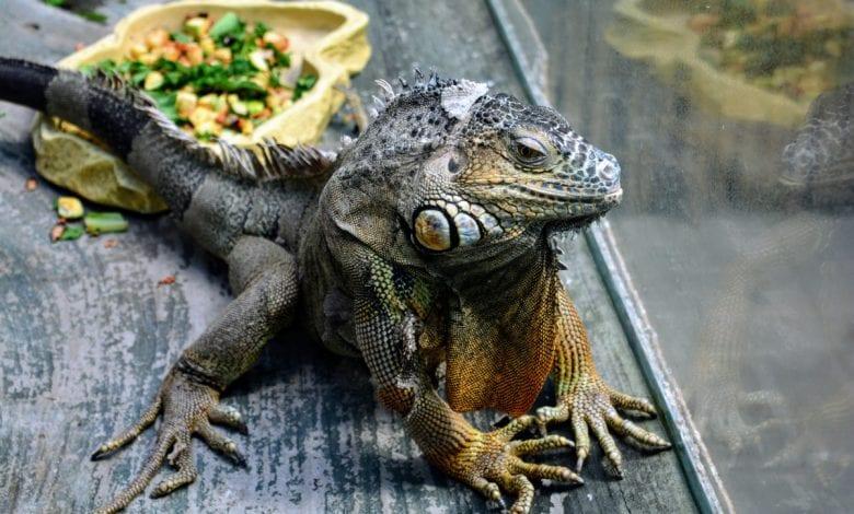 Cum curatati incinta reptilei