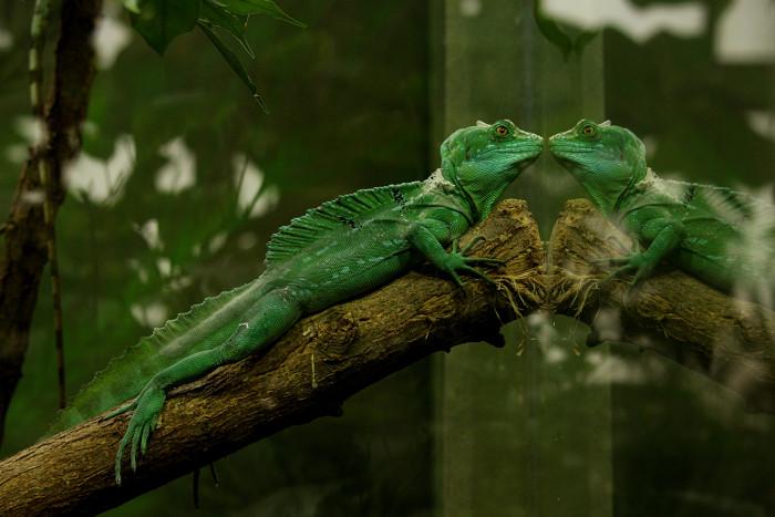 Cum curatati incinta unei reptile