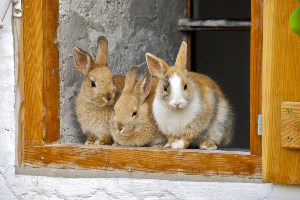 curiozitati iepuri