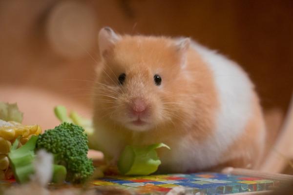 hamster mancare