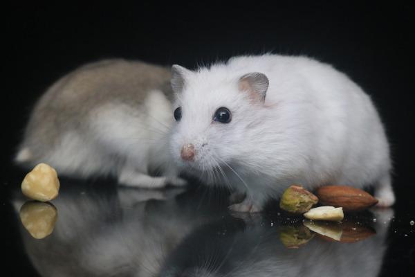 hamster siberian