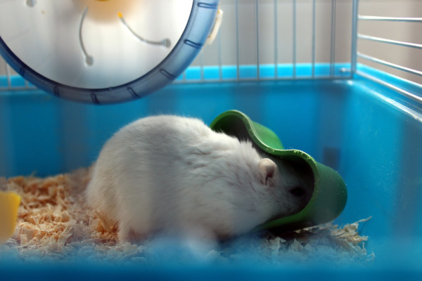 incinta hamster