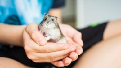 sfaturi ingrijirea hamsterilor
