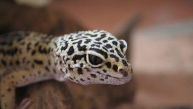 Soparla Gecko Leopard