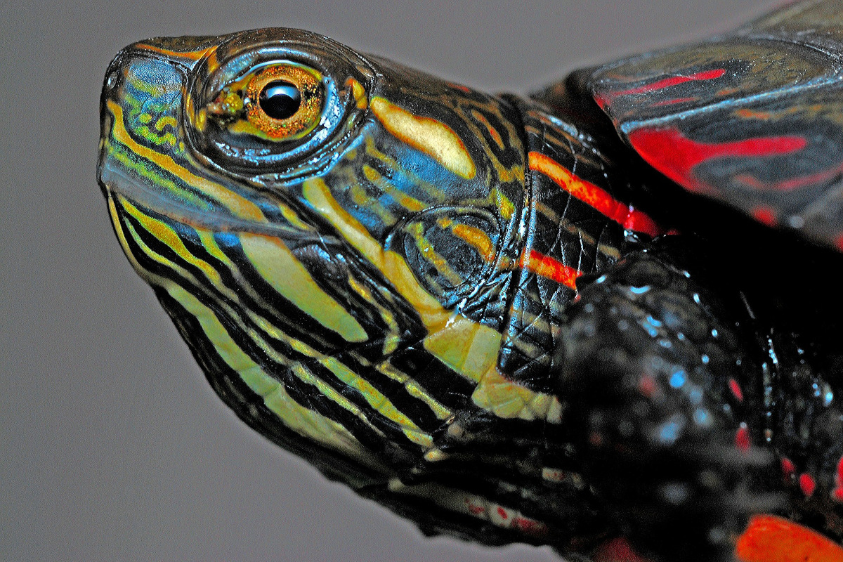 Broasca testoasa pictata
