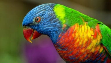 Papagalul curcubeu