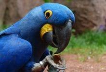 Papagalul zambila