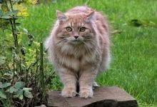Pisica Siberiana de padure