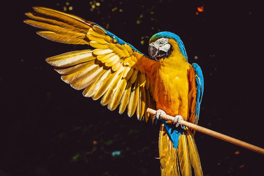 Papagalul Ara albastru-auriu