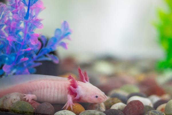 Axolotlul mexican