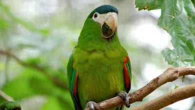 Papagalul Ara Hahn