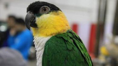 Specia de Papagali Caique