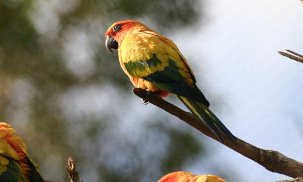 Papagalul Aratinga soarelui