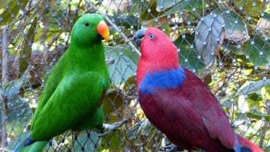 Papagalul Eclectus