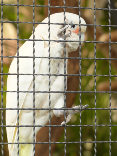 Papagalul Cacadu Goffin