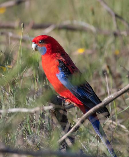 Papagalul Crimson Rosella
