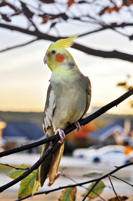 Papagalul nimfa Nymphicus hollandicus