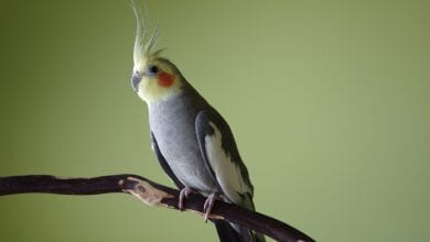 Papagalul nimfa