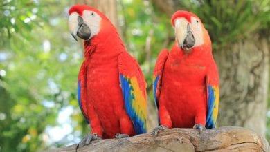 Papagalul stacojiu (Ara macao)