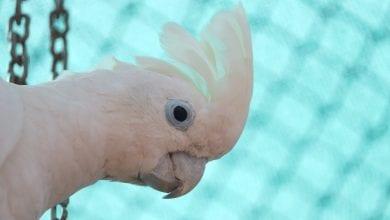 umbrelat (Cacadu alb)