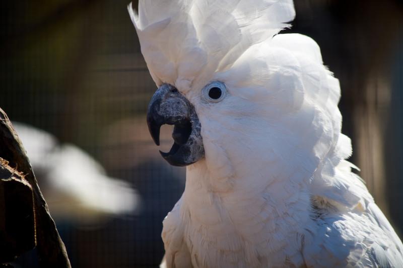 Papagalul umbrelat (Cacadu alb)
