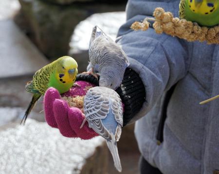 Papagalul perus