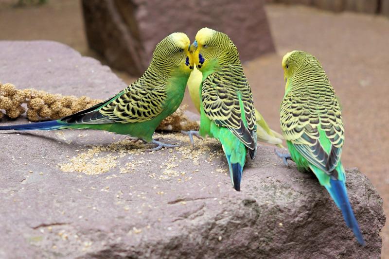 Papagalul perus (Melopsittacus undulatus)