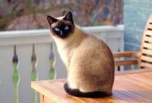 Rasa pisica Siameza