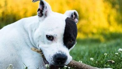 Terrierul American Staffordshire (Amstaff)