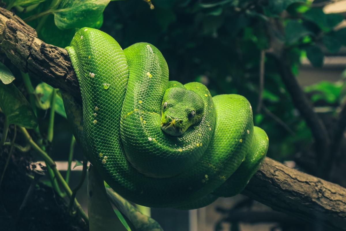 Sarpele Piton (Pythonidae)