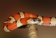 Sarpele Regal (Kingsnake)