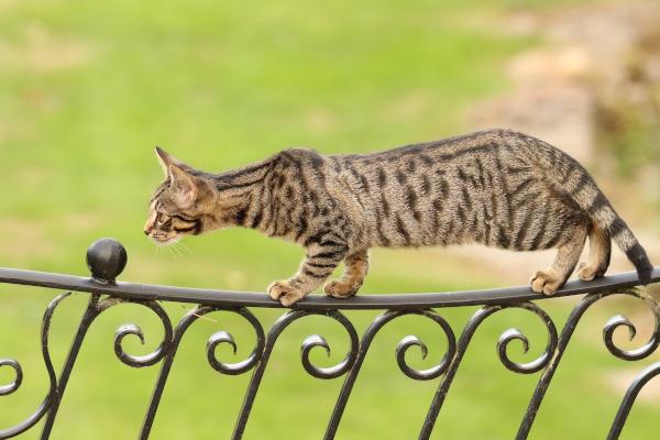 pisica rasa bengaleza