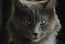 Pisica Nebelung