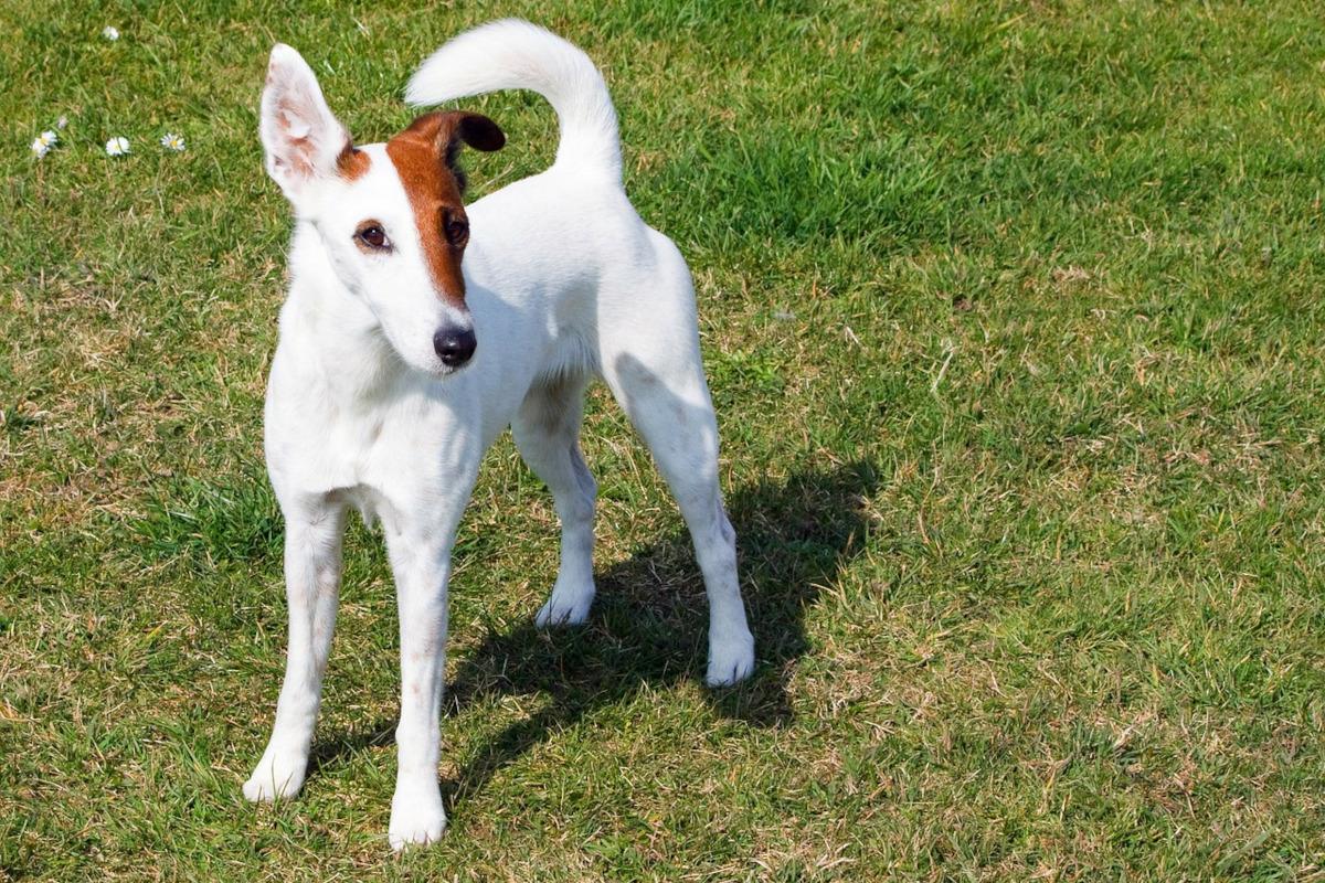 Fox Terrier cu par neted