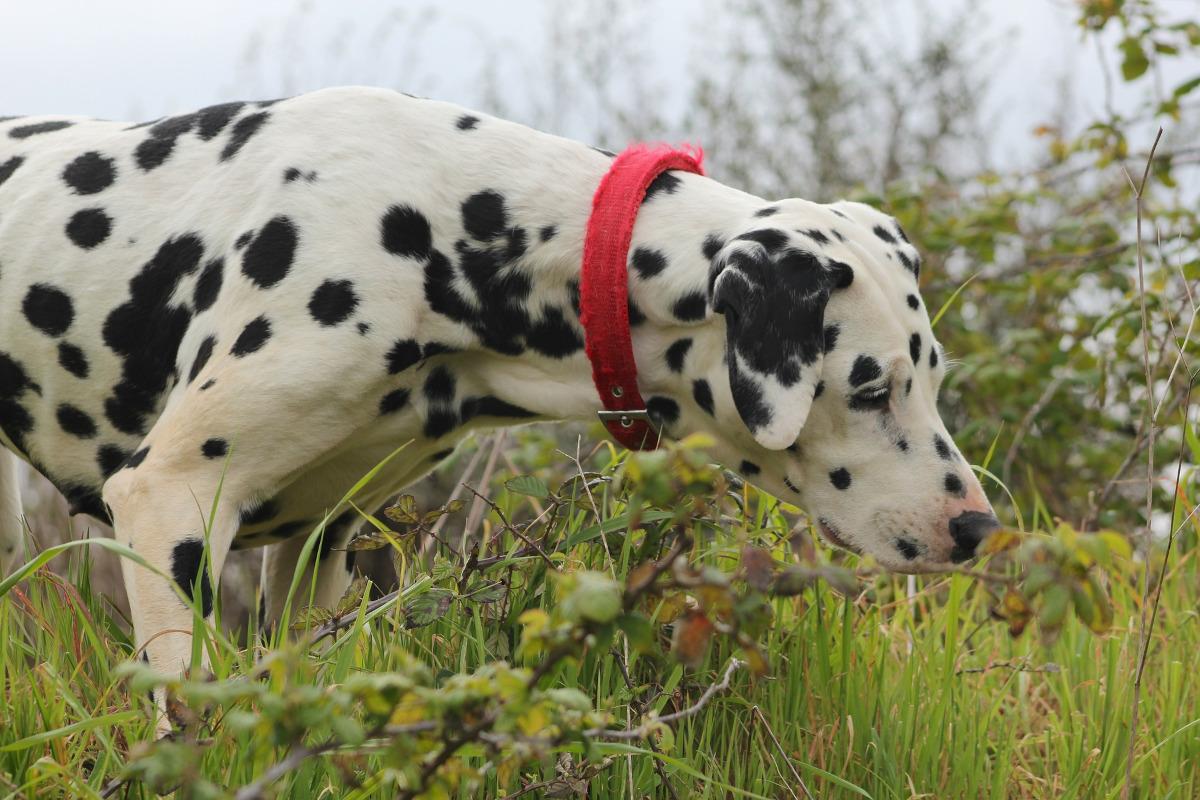 rasa Dalmatian