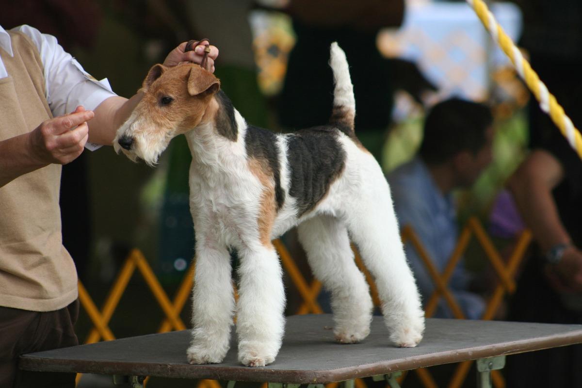 Fox Terrier cu par sarmos