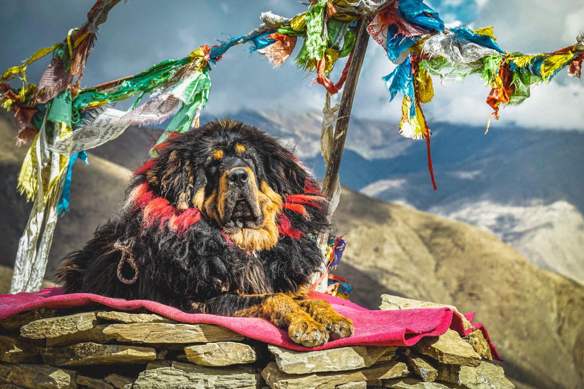 Rasa Mastiff Tibetan