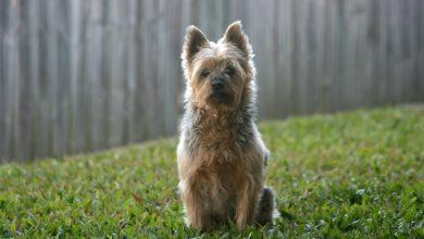rasa Silky terrier