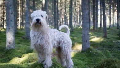 Rasa Soft Coated Wheaten Terrier