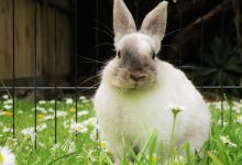 artrita iepuri