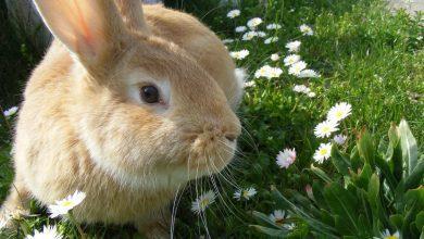 boli iepuri