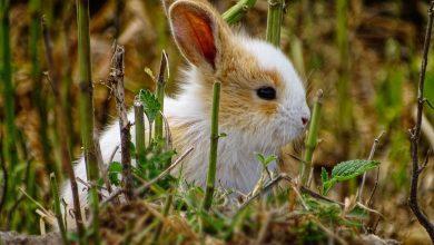 infectiile pielii iepuri