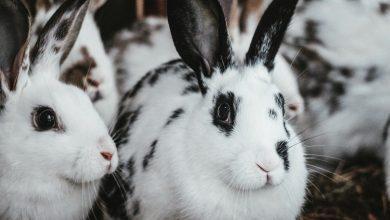 Salivarea excesiva la iepuri
